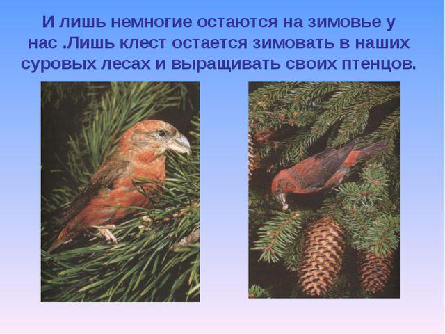 И лишь немногие остаются на зимовье у нас .Лишь клест остается зимовать в наш...
