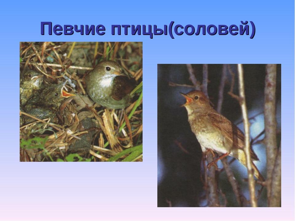 Певчие птицы(соловей)