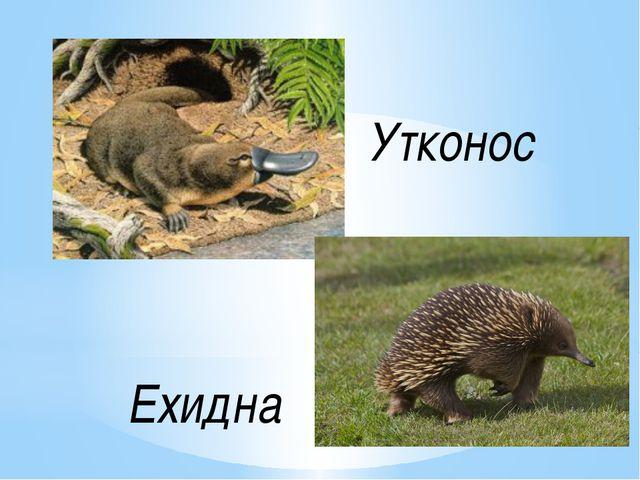 Ехидна Утконос