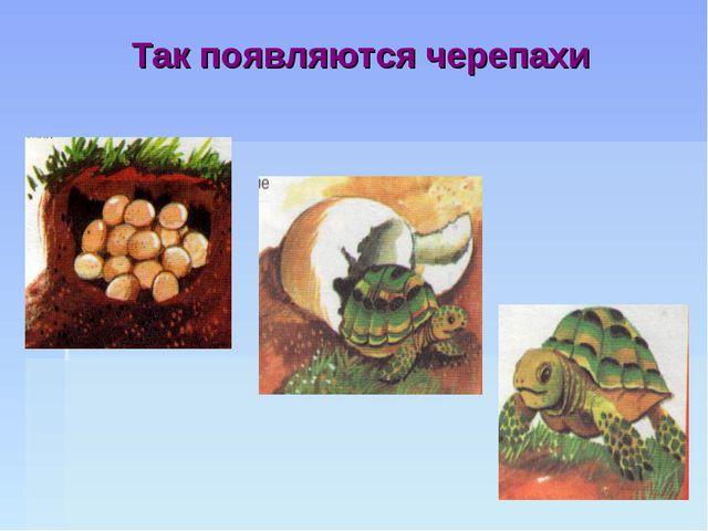 Так появляются черепахи