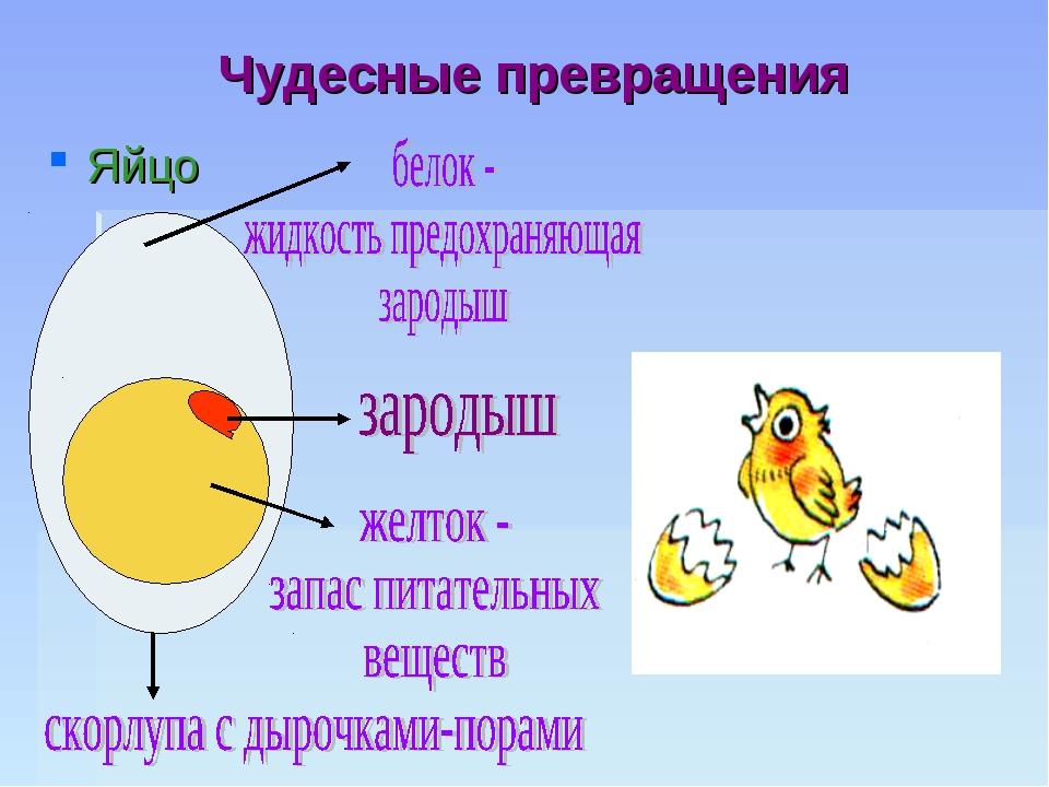 Чудесные превращения Яйцо