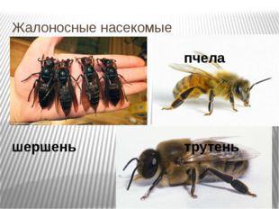 Жалоносные насекомые пчела шершень трутень