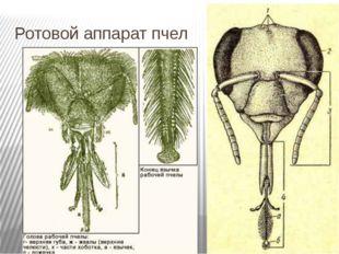 Ротовой аппарат пчел