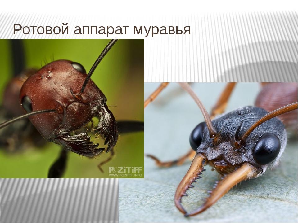 Ротовой аппарат муравья