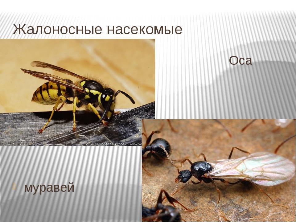 Жалоносные насекомые Оса муравей