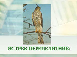 ЯСТРЕБ-ПЕРЕПЕЛЯТНИК: