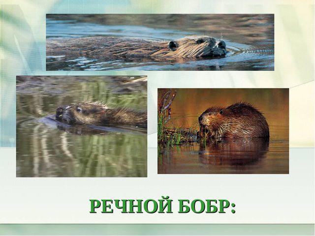 РЕЧНОЙ БОБР: