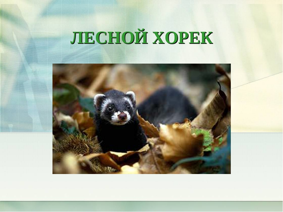ЛЕСНОЙ ХОРЕК