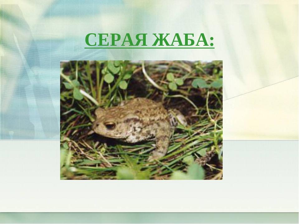 СЕРАЯ ЖАБА: