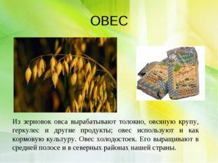 ОВЕС Из зерновок овса вырабатывают толокно, овсяную крупу, геркулес и другие
