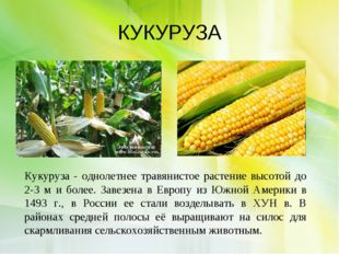 КУКУРУЗА Кукуруза - однолетнее травянистое растение высотой до 2-3 м и более.