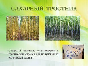 САХАРНЫЙ ТРОСТНИК Сахарный тростник культивируют в тропических странах для по