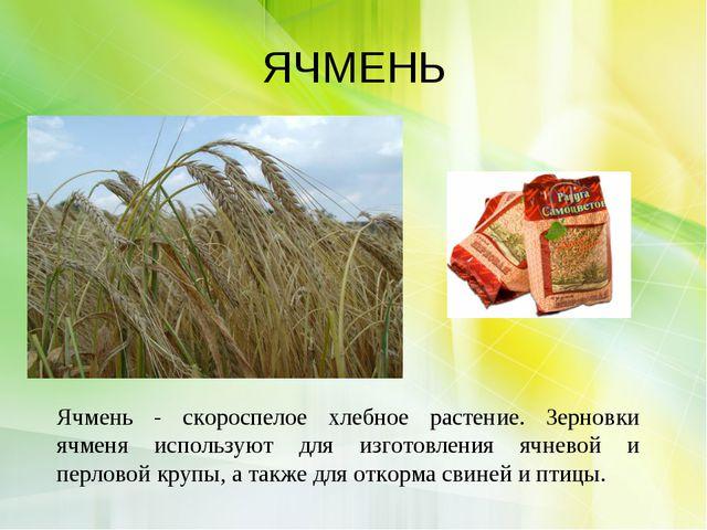 ЯЧМЕНЬ Ячмень - скороспелое хлебное растение. Зерновки ячменя используют для...