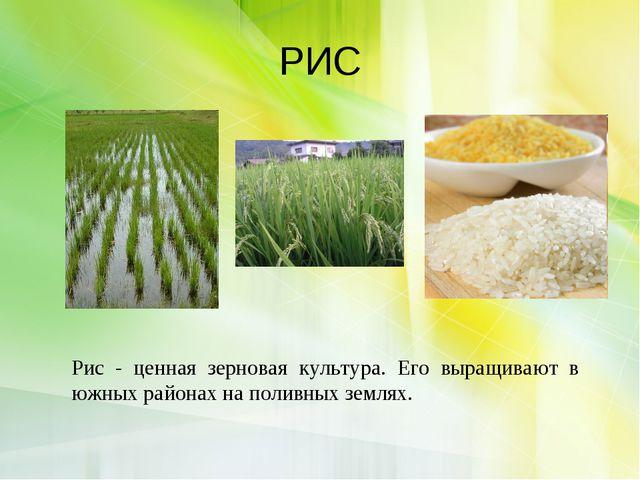 РИС Рис - ценная зерновая культура. Его выращивают в южных районах на поливны...