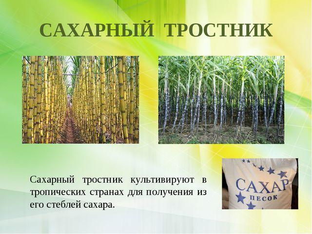 САХАРНЫЙ ТРОСТНИК Сахарный тростник культивируют в тропических странах для по...