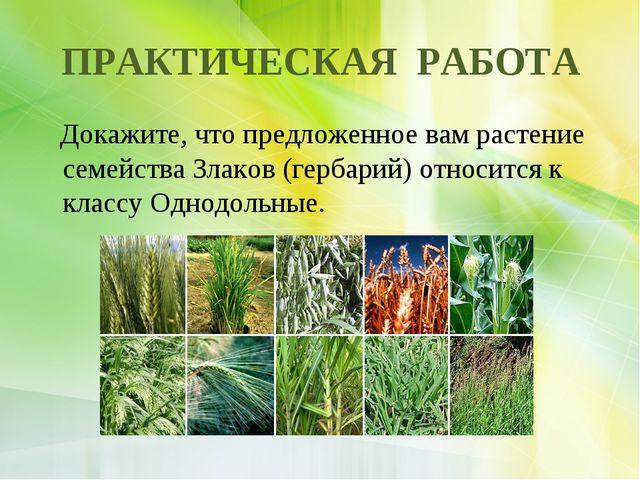 ПРАКТИЧЕСКАЯ РАБОТА Докажите, что предложенное вам растение семейства Злаков...