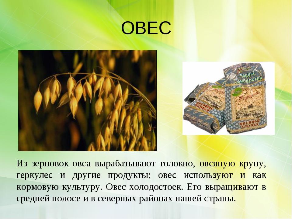 ОВЕС Из зерновок овса вырабатывают толокно, овсяную крупу, геркулес и другие...