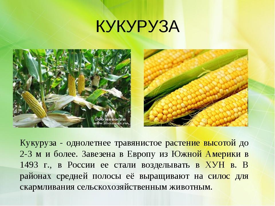 КУКУРУЗА Кукуруза - однолетнее травянистое растение высотой до 2-3 м и более....