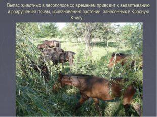 Выпас животных в лесополосе со временем приводит к вытаптыванию и разрушению