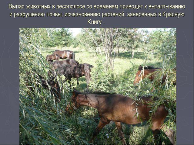 Выпас животных в лесополосе со временем приводит к вытаптыванию и разрушению...