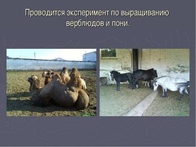 Проводится эксперимент по выращиванию верблюдов и пони.