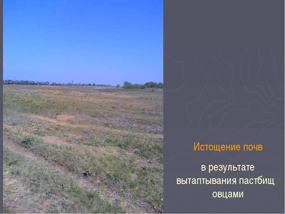 Истощение почв в результате вытаптывания пастбищ овцами