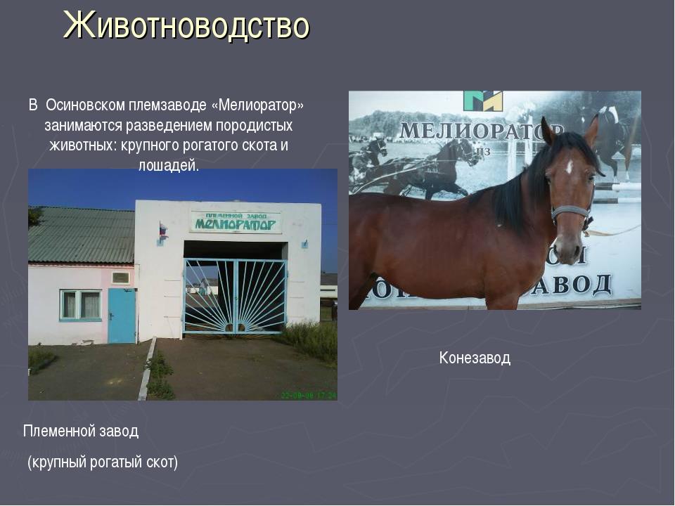 Животноводство Племенной завод (крупный рогатый скот) Конезавод В Осиновском...