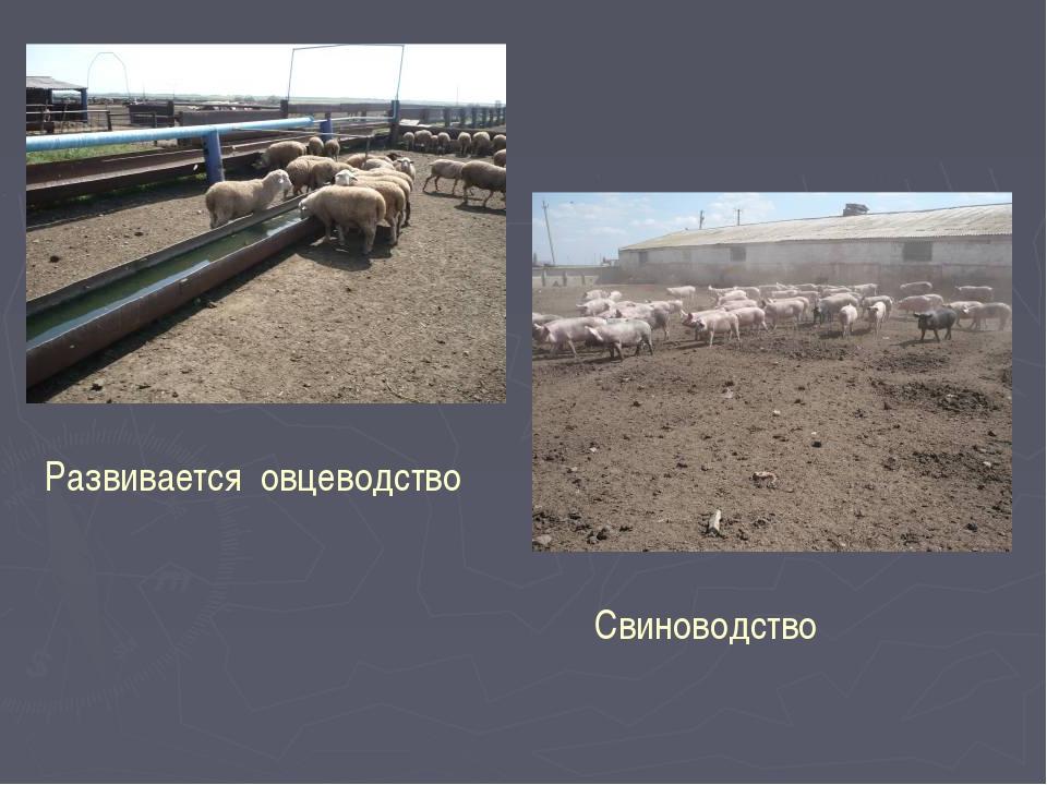 Развивается овцеводство Свиноводство