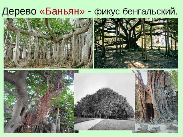 Дерево «Баньян» - фикус бенгальский.