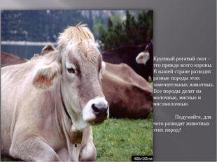 Крупный рогатый скот –это прежде всего коровы. В нашей стране разводят разные