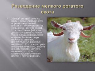 Мелкий рогатый скот это овцы и козы. Очень ценятся породы овец с тонкой шерст