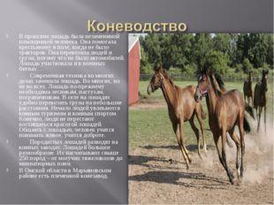 В прошлом лошадь была незаменимой помощницей человека. Она помогала крестьяни