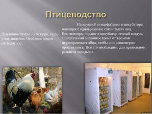 Домашние птицы – это куры, гуси, утки, индейки. Особенно много разводят кур.