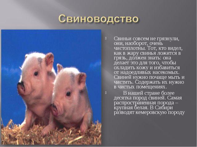 Свиньи совсем не грязнули, они, наоборот, очень чистоплотны. Тот, кто видел,...