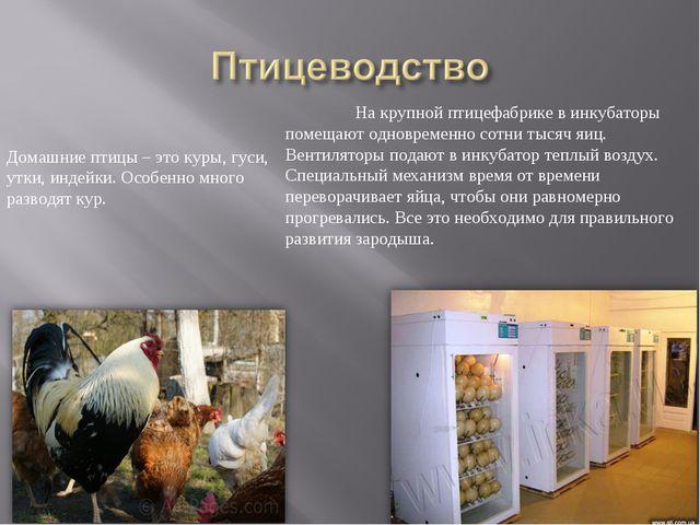 Домашние птицы – это куры, гуси, утки, индейки. Особенно много разводят кур....