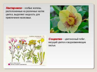 Нектарники – особые железы, расположенные на различных частях цветка, выделя