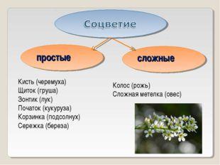 простые сложные Кисть (черемуха) Щиток (груша) Зонтик (лук) Початок (кукуруза