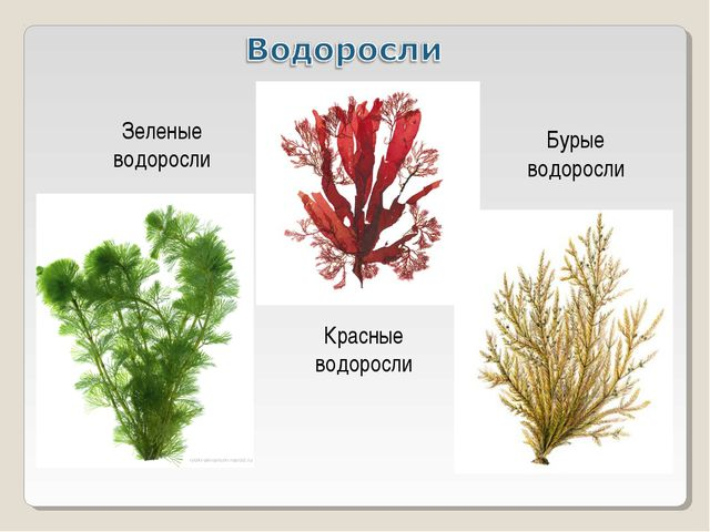 Красные водоросли Зеленые водоросли Бурые водоросли