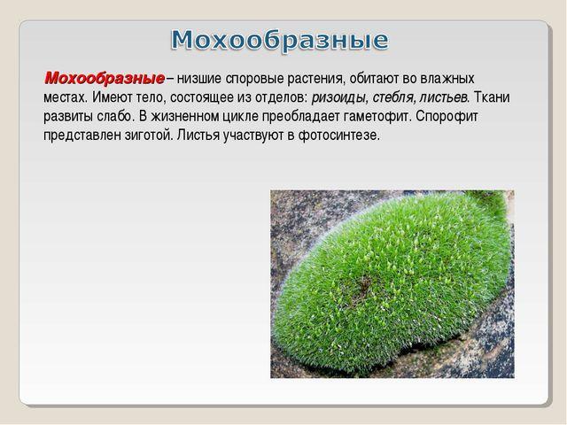 Мохообразные – низшие споровые растения, обитают во влажных местах. Имеют тел...