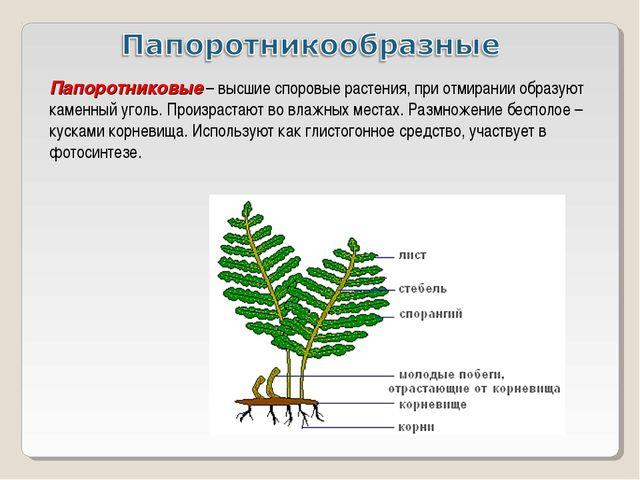 Папоротниковые – высшие споровые растения, при отмирании образуют каменный уг...
