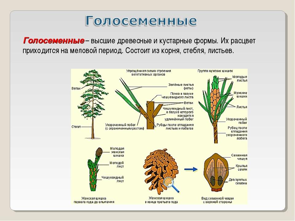 Голосеменные – высшие древесные и кустарные формы. Их расцвет приходится на м...