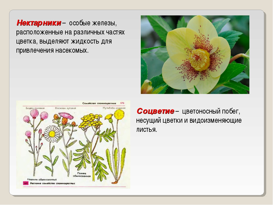 Нектарники – особые железы, расположенные на различных частях цветка, выделя...