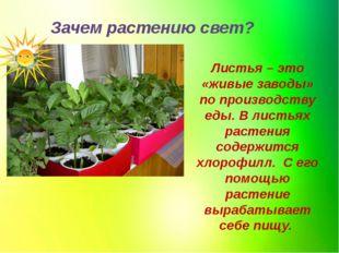 Зачем растению свет? Листья – это «живые заводы» по производству еды. В листь