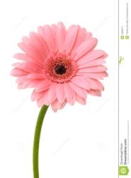 pink-daisy-flower-12666017.jpg