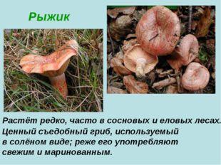 Рыжик Растёт редко, часто в сосновых и еловых лесах. Ценный съедобный гриб,