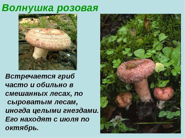 Волнушка розовая Встречается гриб часто и обильно в смешанных лесах, по сыров...