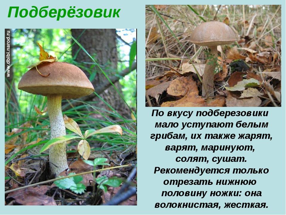 Подберёзовик По вкусу подберезовики мало уступают белым грибам, их также жаря...