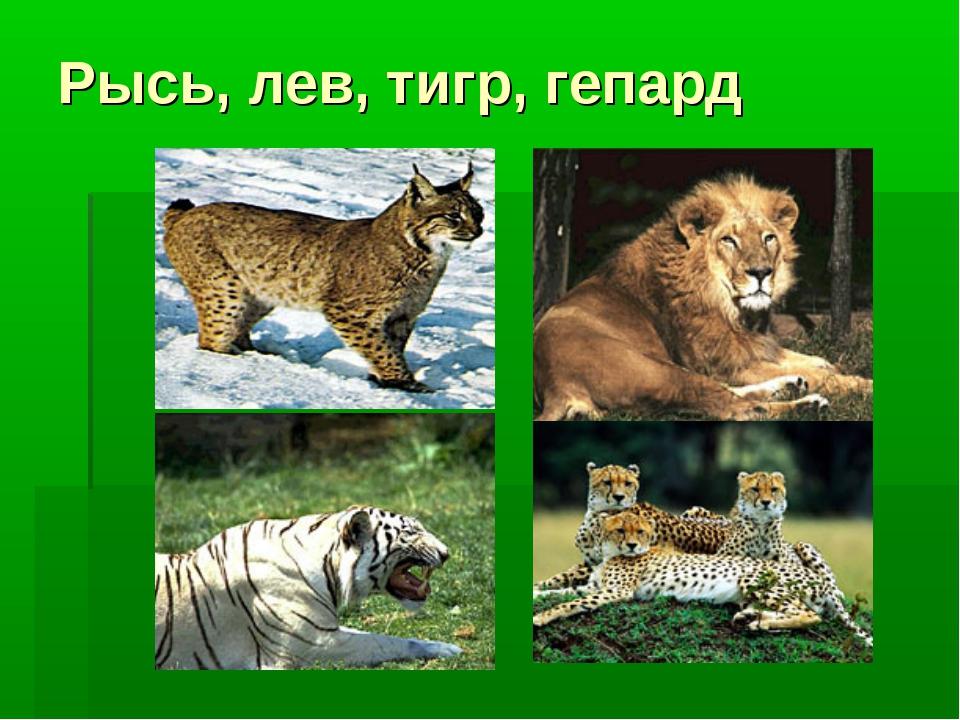 Рысь, лев, тигр, гепард