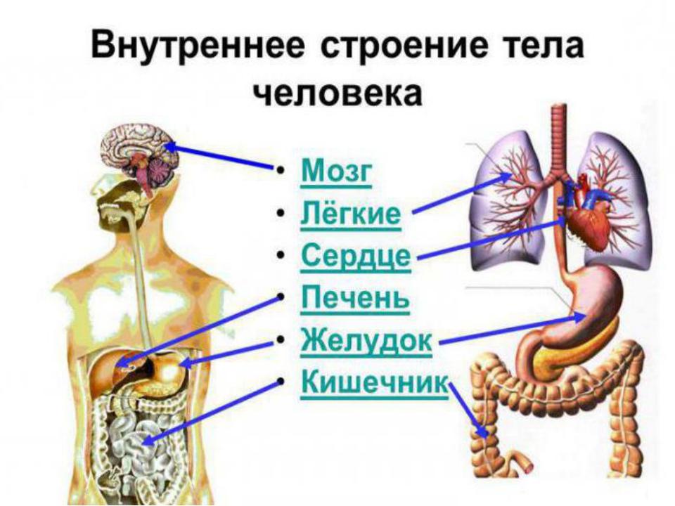 Фото схема орган человека