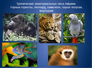 Тропические экваториальные леса Африки. Горные гориллы, леопард, хамелеон, се